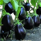 Надзвичайно великі плоди з відмінним зав'язуванням і толерантністю до холоду.