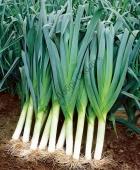 Лук порей для всесезонного выращивания.