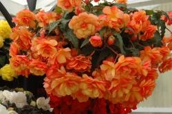 Бегонія бульбова Іллюмінейшн F1, помаранчева