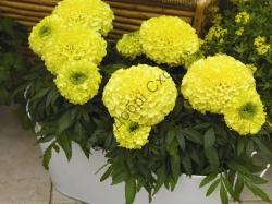 Чорнобривці гібрид, жовтий