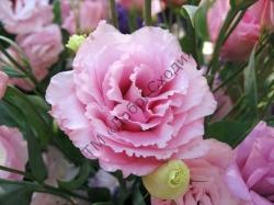 Еустома ABC 2 F1, рожева