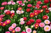 """Купити насіння квітів. Доступні ціни.    """" Добрі Сходи"""""""