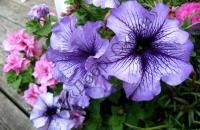 """Насіння однорічних квітів   """" Добрі Сходи"""""""
