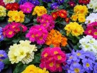 """Дворічні квіти Маргаритка Тассо F1, суміш   """" Добрі Сходи"""""""