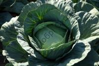 Надзвичайні смакові якості капусти.