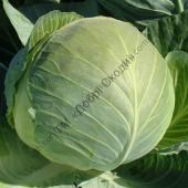 Еталон для квашення серед білоголової капусти.