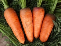 Надзвичайно популярний високоврожайний та смачний сорт моркви.