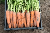 """Насіння моркви Белградо F1 (1,6-1,8мм)   """" Добрі Сходи"""""""
