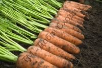 Гібрид моркви типу Шантане для тривалого зберігання.