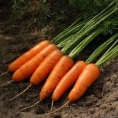 Ранній сорт моркви для зберігання (6 міс) типу шантане.