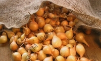 Новинка! Високовражайній, середньостиглий озимий сорт цибулі.