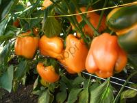Помаранчеві, соковиті, товстостінні (6 мм) плоди.