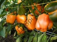 Оранжевые, сочные, толстостенные (6 мм) плоды.