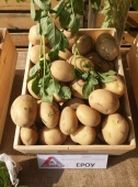 Великобульбовий високовражайний сорт картоплі
