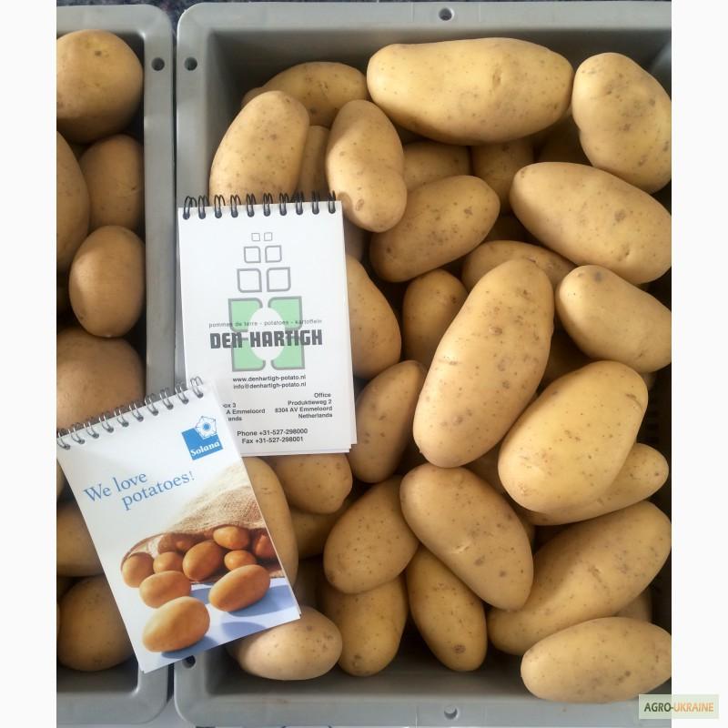 Популярний сорт картоплі для варіння, смаження та пюре.