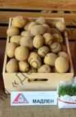 Високовражайна картопля столового призначення