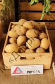 Отримання надранньої картоплі