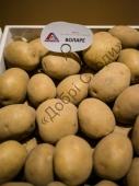 Великобульбовий сорт картоплі