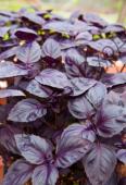 Дуже ароматне, темно-фіолетове листя, багате ефірними маслами і каротином.