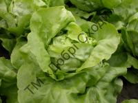 Качани салату великі, однакової форми з соковитим листям.