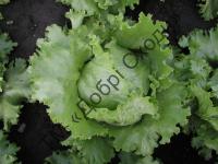Ідеальний для салатної промисловості.
