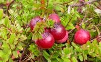 Морозостійкий сорт журавлини з великими плодами