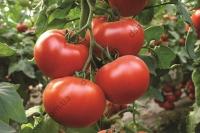 Унікальний гібрид типу біф-томат для плівкових теплиць.