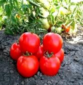 Найкраще зав'язування плодів при високих температурах.