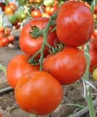 Продуктивний, високоврожайний гібрид томату масою до 260 г.