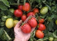 Для цільно-плідного консервування, виробництва томатної пасти, кетчупа