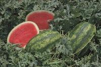 Самий ранній гібрид з овальними смугастими плодами масою 9—12 кг.