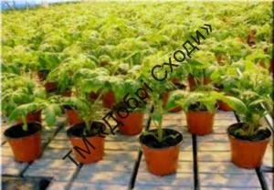 Розсадний спосіб вирощування