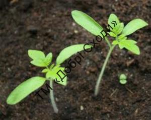 Безрозсадний спосіб вирощування